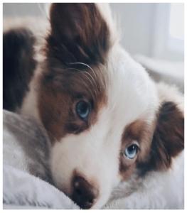 Shepherd with blue eyes